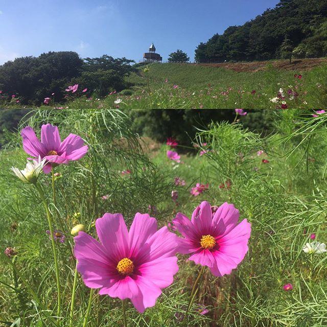翠波高原へコスモスを見に行きました高原だからと思いきや暑くて汗だく風は気持ちの良い風でしたが今年の暑さはすごいですね満開までもう一息明日あたりが見頃で明日からはコスモス祭りがあるようです#コスモス#翠波高原#コスモスまつり#高原#風が気持ちいい#愛媛県